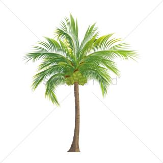Coconut Tree Transparent Background PNG images