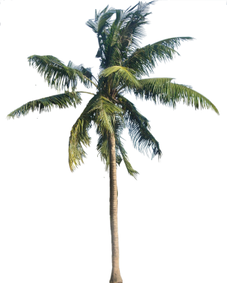 Coconut Tree Vector Png PNG images