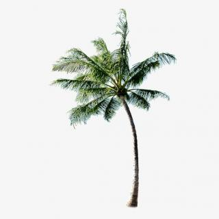 High Resolution Coconut Tree Png Clipart PNG images
