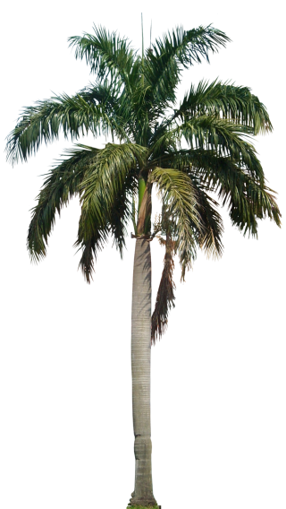 Palm Coconut Tree Designs Png PNG images