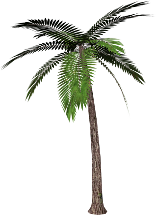 Real Coconut Tree Background PNG images