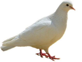 Dove, Birds, White Png PNG images