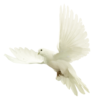 Dove Png PNG images