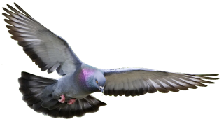 Pigeon, Dove PNG Transparent PNG images