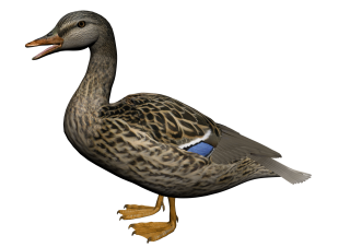 Hd Duck Image In Our System PNG images