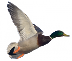 Best Free Duck Png Image PNG images