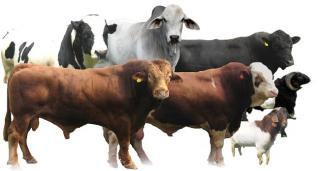 Heifer, Bull, Cow, Goat, Sheep For Feast Of Sacrifice Transparent Png PNG images