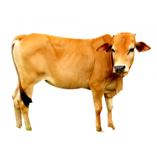 Yellow Cow, Feast Of Sacrifice Picture PNG images