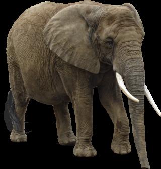 Elephant Png Elephant Transparent Background Freeiconspng Gray elephant illustration, african bush elephant, elephant transparent background png clipart. elephant png elephant transparent