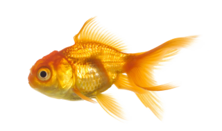 Gold Fish PNG PNG images