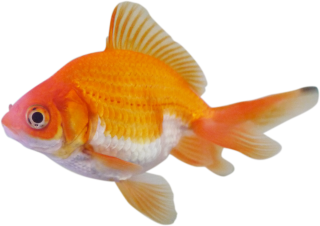 Ornamental Fish Farming PNG images