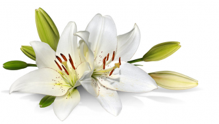 Best Free Lily Png Image PNG images