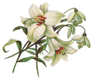 Lily Clipart PNG images