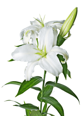 Lily, Lilies Flower PNG File PNG images