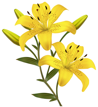 Lily PNG Clipart PNG images