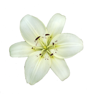 Lily White High-quality Png PNG images