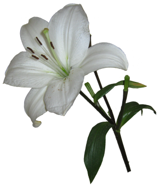 Real Lily Png Clipart PNG images