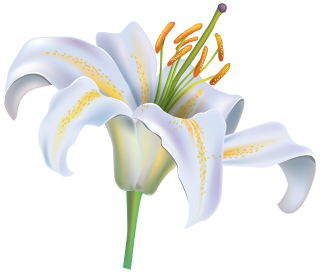 White Flower Lily PNG images