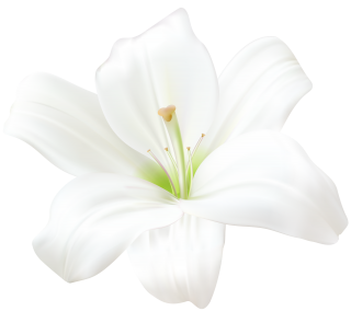 White Lily PNG PNG images
