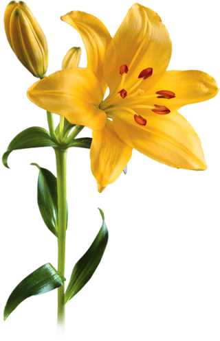 Yellow Lily Flower Transparent Background PNG images