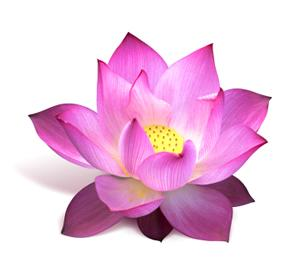 Lotus Vector Png PNG images
