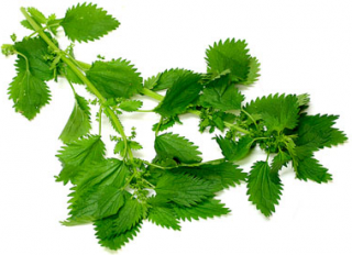 Fresh Green Nettle Plant Leaf Pictures PNG images