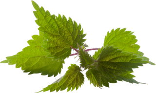 Fresh Nettle Png Transparent Background PNG images