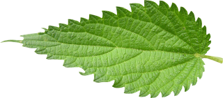 Get Nettle Photo Pictures PNG images