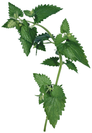 Great High Resolution Images Natural Nettle PNG images