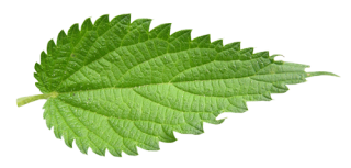Hd Nettle Photo Background PNG images
