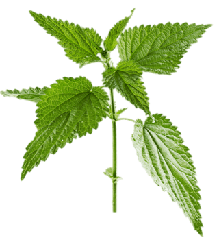 Little Twig Nettle Leaf Green Photo PNG images