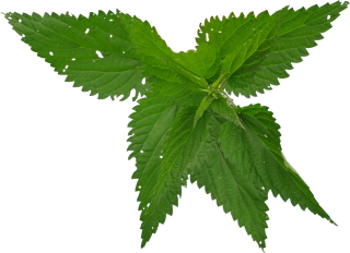Natural Green Nettle Picture PNG images