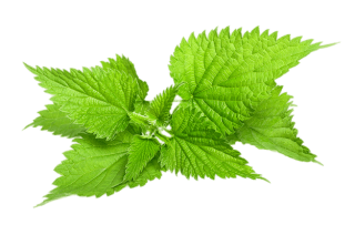 Natural Image Fresh Nettle PNG images