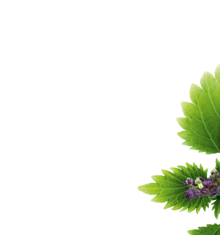 Nettle Branch Half Colored Images PNG images