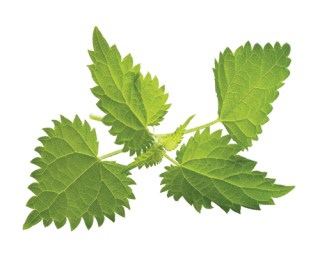 Nettle Pictures PNG images