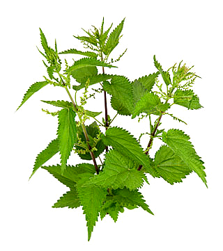 Nettle PNG Image Spectacular In Bloom PNG images
