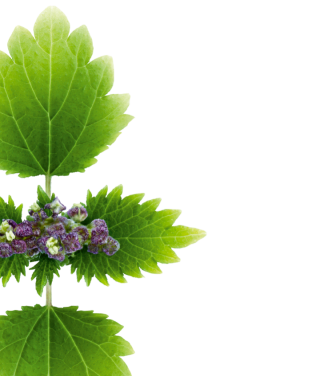 Nettle Prominently Veined Purple Green Photo PNG images
