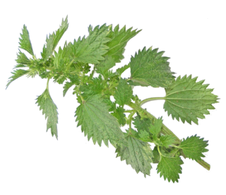 Nettle Transparent Background Photo PNG images