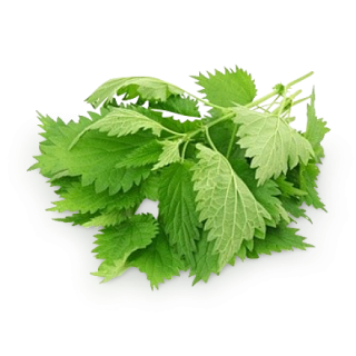 Prickly Nettle Leaf Images PNG images