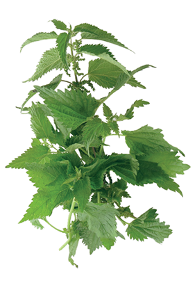 Useful Green Nettle Picture PNG images