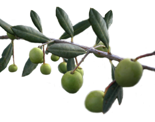 Background Olives Transparent PNG images
