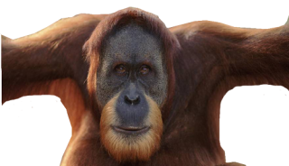 But The Old Strong Orangutan Photo PNG images