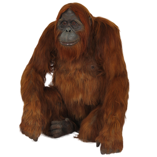 Calm And Thoughtful Orangutan Photo Pictures PNG images
