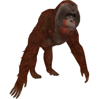 Get Orangutan Photo Pictures PNG images
