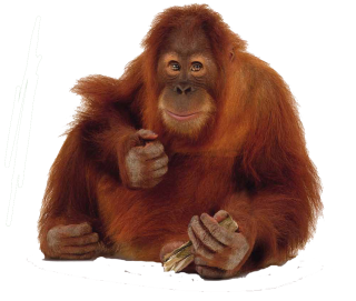 Hard Facing Red Orangutan Pictures PNG images