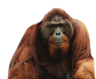 Long-Haired Orangutan Official Red Images PNG images