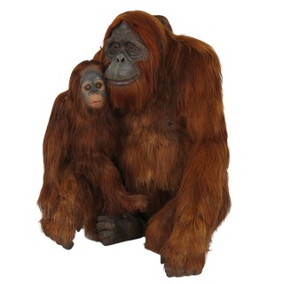 Mother Orangutans And Puppies Images PNG images