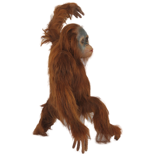 Orangutan Acrobatics Engaged In Short Photo PNG images
