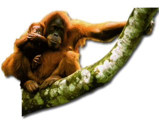 Orangutan Standing On A Tree Branch Images PNG images