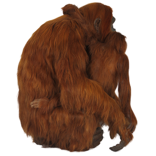 Picture Red Haired Orangutan PNG images
